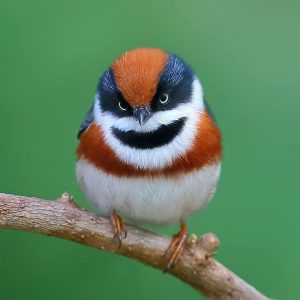 A tiny bird with a white bottom half, black around the eyes and the beard area, white around the beard, and orange on the crest and the upper chest